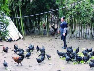 杨永英:林下养鸡领头人