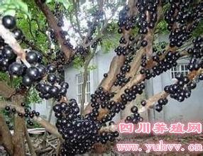 """嘉宝果""""树葡萄""""树苗的人工种植栽培技术"""