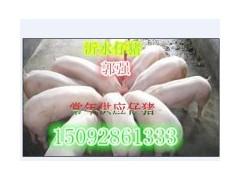 15092861333供应三元仔猪价格