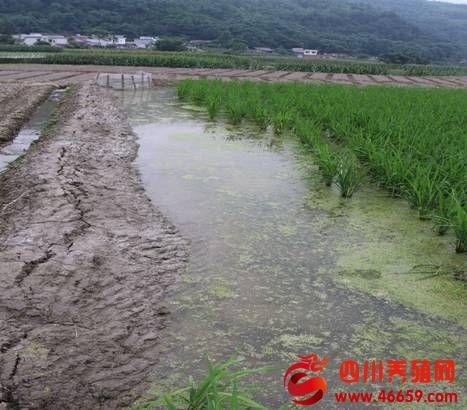 兴文县大坝苗族乡:稻鳅养殖模式 助农增收良方