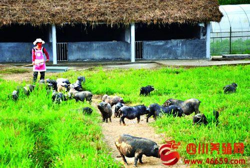 老百姓怎样科学养殖乌金猪?