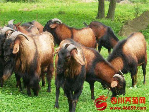 南江黄羊的四季管理及防病技术(图文)