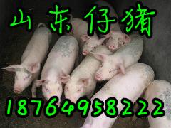 今日仔猪市场行情 仔猪哪里便宜 临沂仔猪产地价格