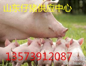 山东仔猪价格山东小猪价格