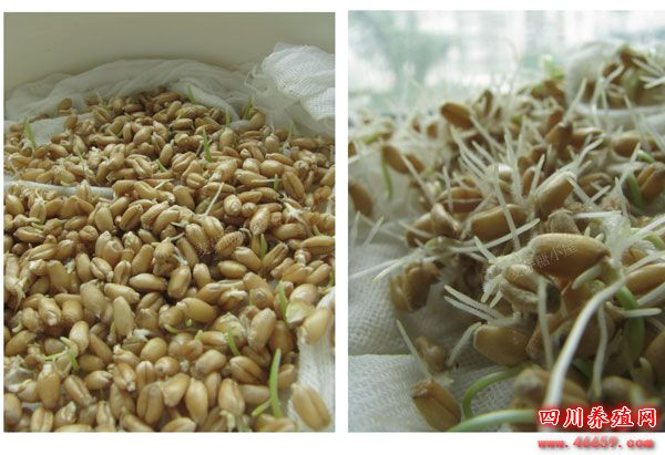 麦芽糖的制作技术教程,以后在家可以自己制作了