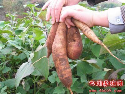 雪莲果人工种植技术和种植要点