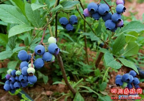 德阳旌阳区新中蓝莓采摘节18日新中镇开幕