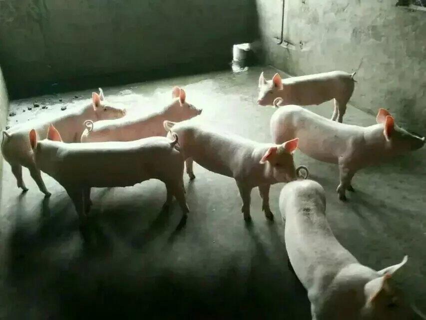 供应山仔猪 生猪 猪 仔猪价格 猪价格