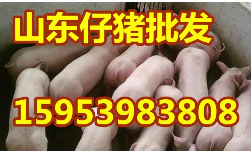 山东临沂优质三元仔猪交易价格