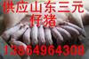 山东三元仔猪小猪供应13864964308