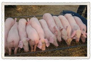 18754958188山东仔猪销售
