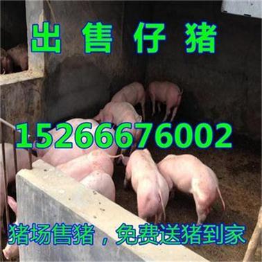 山东仔猪产地山东近日仔猪价格是多少