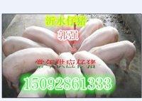 15092861333今日三元仔猪价低