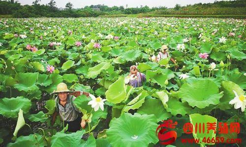 泸州市龙马潭区长春村100余亩太空莲盛放