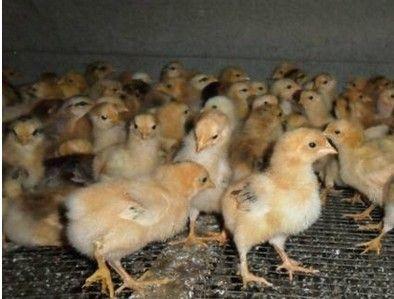 供应柴鸡苗价格 黑鸡苗价格 红腹锦鸡价格