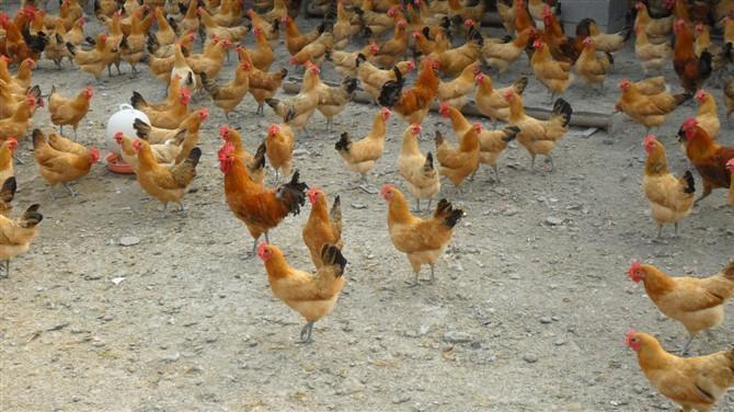 供应绿壳蛋鸡苗七彩山鸡苗清远麻鸡苗