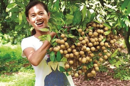 8月30日,泸州市江阳区黄舣镇瓦窑滩村村民在采摘桂圆