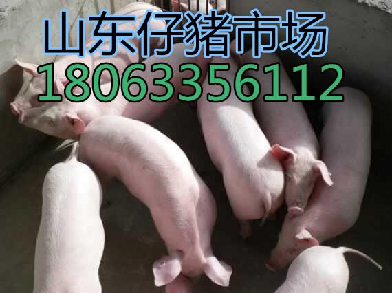 山东仔猪产地价格哪里便宜