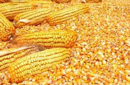 公司大量收购玉米、高粱、大豆、酒糟粉