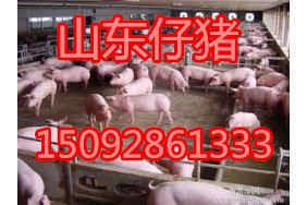15092861333今日山东三元仔猪批发价