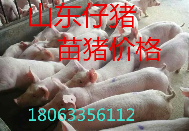 山东仔猪哪里价格便宜小猪产地