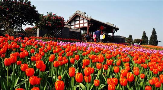 3月8日,四川成都第十一届花舞人间杜鹃花节将正式开幕