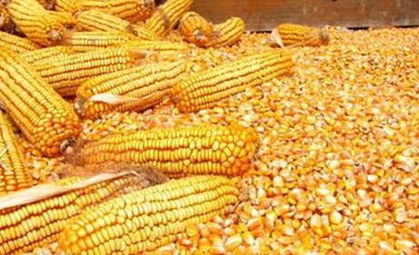 汉江大量求购玉米黄豆高粱碎米荞麦等