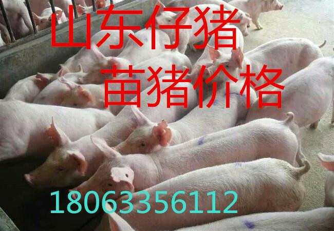 山东仔猪产地仔猪今日多钱一斤