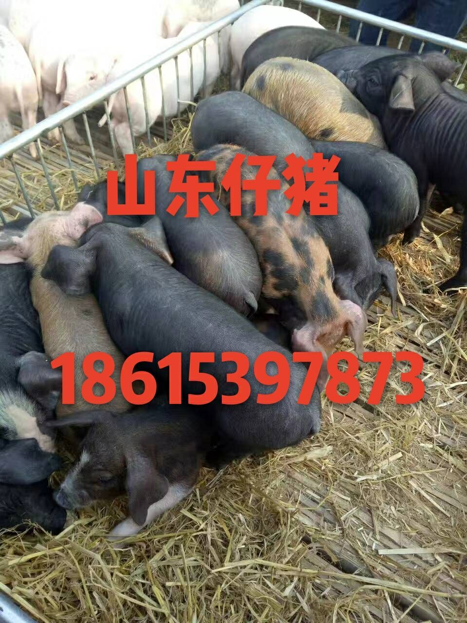 18615397873三元仔猪今日价格