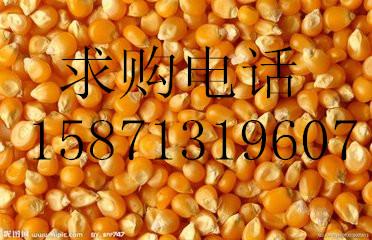 常年求购:玉米、大麦、高粱、豆粕