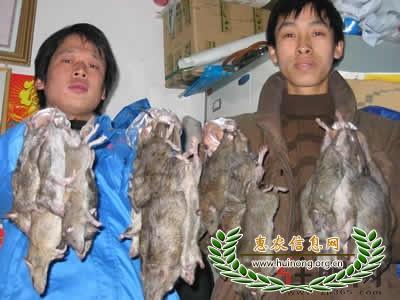 特效 灭鼠药,灭绝一切老鼠