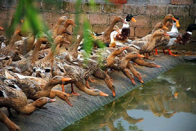 三穗鸭外貌特征生产性能