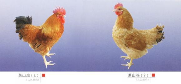 萧山鸡-鸡种大全