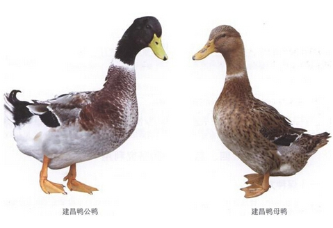 建昌鸭(建鸭)地理环境、外貌特征、品质特性、营养价值