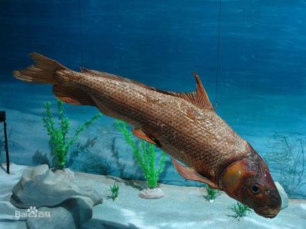 胭脂鱼-又名黄排、血排、粉排、火烧鳊、木叶盘、红鱼、紫鳊