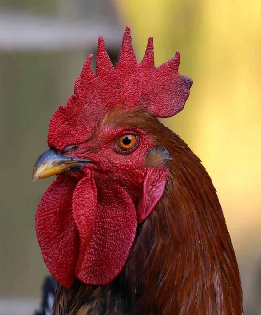 鸡吃啥能冠红毛亮,鸡冠变大速长方法